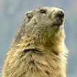 Vignette du profil de marmottes